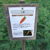 野菜畑(にんじん)