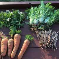 収穫した新鮮野菜➕つくし