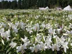 大分県 くじゅう花公園 花と星 の新着関連写真t1070(1)